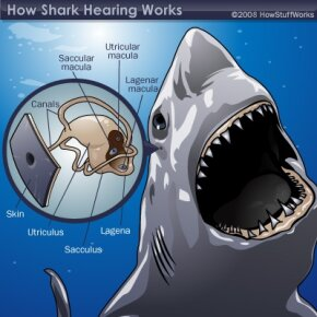Diagram of a shark's ear