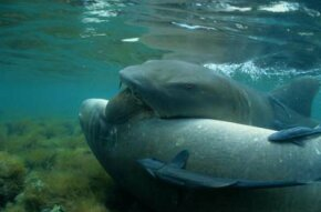 The male shark sets a romantic mood by biting the female. See more pictures of sharks.