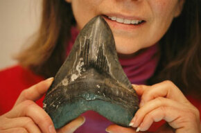 The size of a megalodon shark tooth is frightening.