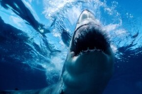 What would it take for great whites to congregate? Our guess is food – and lots of it.