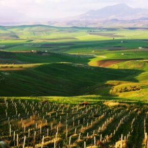 The Sicilian soil is ideal for growing grapes but almost useless for the cultivation of any other crops. See more wine pictures.