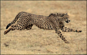 Running, the Cheetah