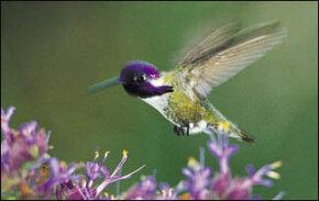 Aerial Acrobatics, Hummingbirds