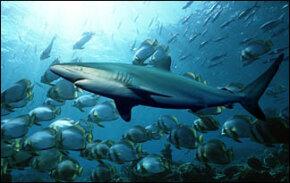 Electroreception, Sharks