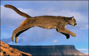 Jumping, the Puma