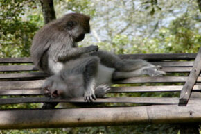 A Balinese long-tailed monkey picks fleas off another. Humans used to do this as a social activity too.