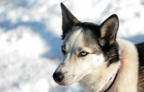 Mushers look for easygoing dogs that are mentally tough and up to the challenge of pulling a racing sled.