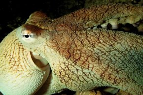 That reef octopus does look rather wise, don't you think?