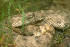 """Sidewinder snake (a.k.a. """"horned rattlesnake"""")"""