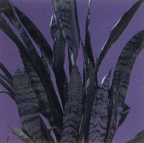 Snake plant is a house plant with striped leaves. See more pictures of house plants.