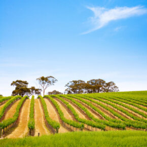 With a huge diversity of climate conditions and soil types, South Australia lends itself to the cultivation­ of a wealth of grape varieties in 17 distinct winemaking regions. See our collection of wine pictures.