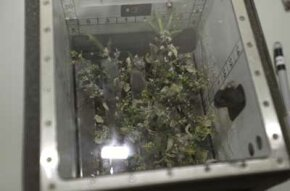 Plants must be grown in special growth chambers aboard the ISS. The astronauts run experiments on both the plants and the growth chambers, trying to learn about and improve the process of space farming.