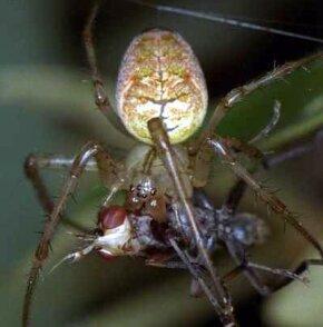 An orb web spider feeding on a fly