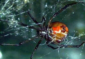 A female redback spider in her web