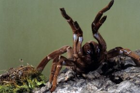 When we think of scary, unsightly spiders, we often think of the tarantula. Turns out these big boys don't actually pack that much of a punch in their bites.