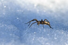 Though birds, bears and other creature often travel to warmer locations during the winter, house spiders have adapted enough to omit the annual journey for survival.