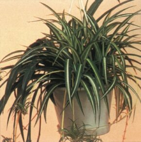 Spider plant develops plantlets on its stems. See more pictures of house plants.