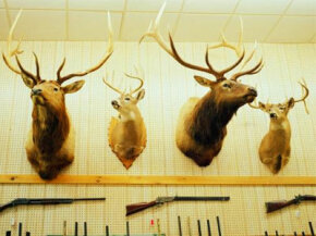 Deer head trophies and rifles mounted on wall