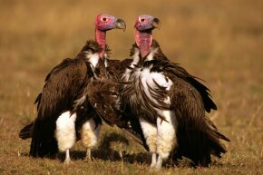 Vultures might not be too pretty to look at, but their skulls are prized by many superstitous folks.