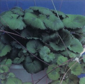 Strawberry begonia has multicolored leaves and, on occasion, produces