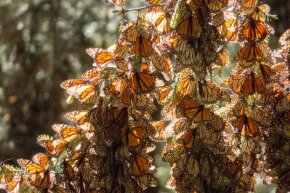 A mass of monarchs on their wintering grounds