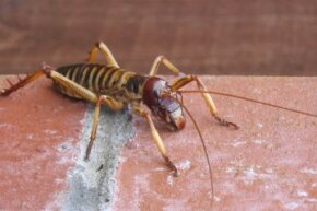 The weta bug is one of the largest insects on Earth.