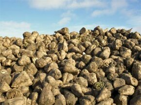 As opposed to the more temperamental sugarcane crop, farmers can grow sugar beets, like these seen here, in a wide variety of locations.