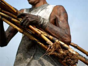A Guatemalan worker carries sugarcane. Workers earn $1.50 per ton of sugarcane cut during the seven-month harvest.