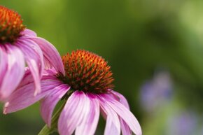 If you've never heard someone singing the praises of echinacea as a cold remedy, you might be the only one.