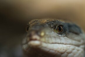 Not surprisingly, no long-tailed skink would agree to be photographed for this article, so here's a relation, the blue-tongued skink.
