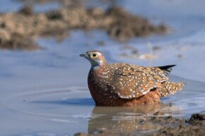 A Burchell's sandgrouse wets its feathers to carry water to its chicks to drink.