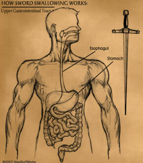 On the left, the relatively curvy human GI tract. On the right, a sword of comparable length.