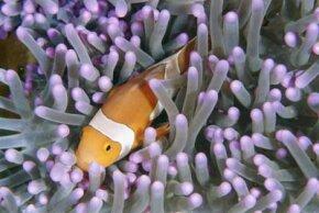Clown anemonefish and sea anemones