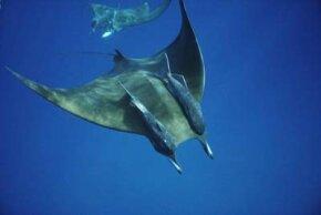 Manta ray with remoras