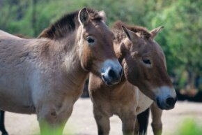 Przewalski's horse is similar to the extinct tarpan and is the only known species of wild horse in the world.