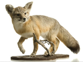 A taxidermist worked on this fox to make it appear exactly like it did when it was alive.