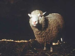 When Dolly the cloned sheep died at the premature age of 6, scientists discovered unusually short telomeres in her cells.