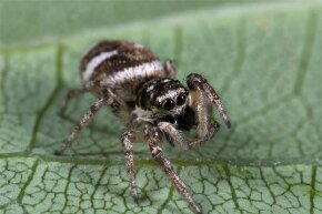 The jumping zebra spider has eight eyes arranged in three rows; the main two are extremely large and are used for binocular vision.