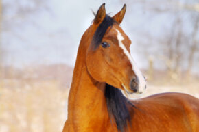 Arabians, like this bay-colored horse, and other members of the Oriental horse group, provided the foundation and quickness of the Thoroughbred breed.