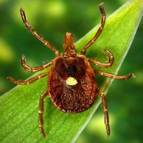 A female lone star tick, Amblyomma americanum. See more pictures of arachnids.