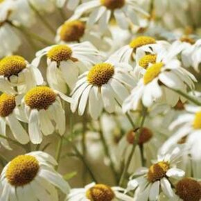 Chamomile is known for its natural soothing properties and is an ingredient in many herbal supplements.