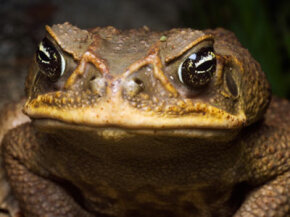 A giant cane toad, plague of Australia.