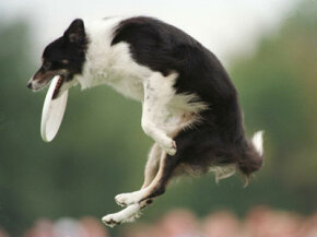 Gale, a border collie like the one shown above, survived nine days in the trunk of a car. See more pet pictures.