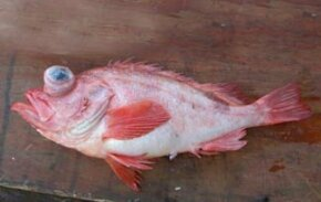 Acadian Redfish: Reproduction impeded by trawling.