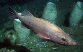 Bocaccio Rockfish: Most endangered of the West.