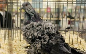 All pigeons are not the same. In fact they come in a stunning array of shapes and colors.