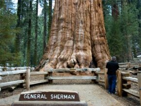 So far, General Sherman, a giant sequoia, holds the title of being the world's most massive single tree.