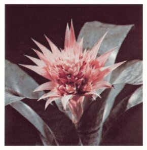 "The aechmea derive their name from the Greek, ""aechme; spear tip."" See more pictures of bromeliads."