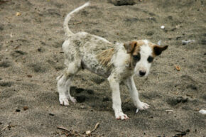 This poor stray puppy's ratty-looking coat might be a sign of mange.