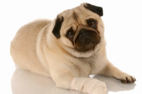 A dog's paw is thick and tough, but that doesn't mean that it can't get hurt.